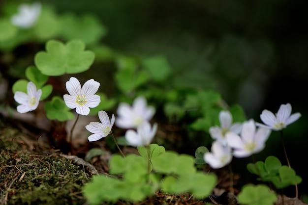 Witte oxalis-acetosella wilde bloemen in de lentebos