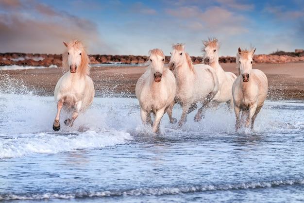 Witte paarden die op het strand galopperen