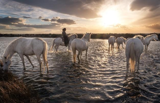 Witte paarden en twee bewakers lopen in het water