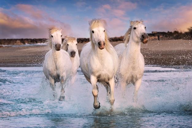 Witte paarden in camargue, frankrijk.
