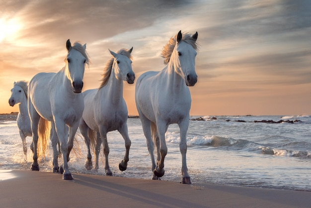Witte paarden in camargue, frankrijk. Premium Foto