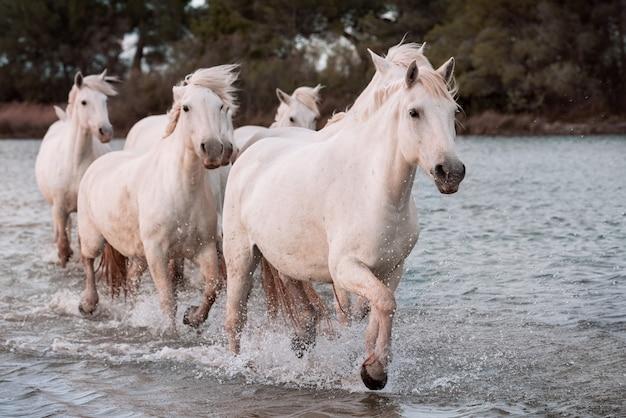 Witte paarden op het strand