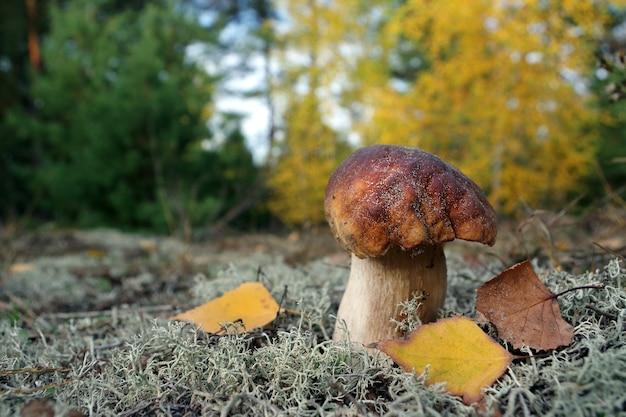 Witte paddestoel. eekhoorntjesbrood paddestoel groeien in herfst bos. boletus.