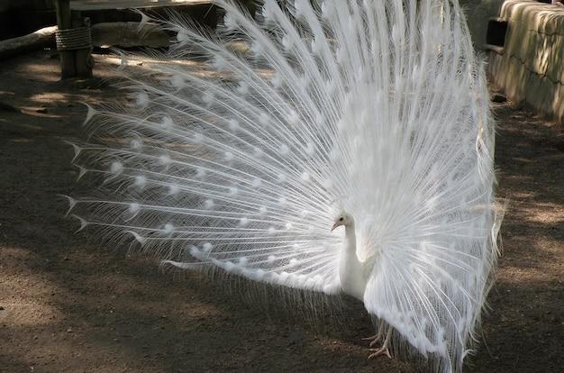 Witte pauw met uitlopende veren