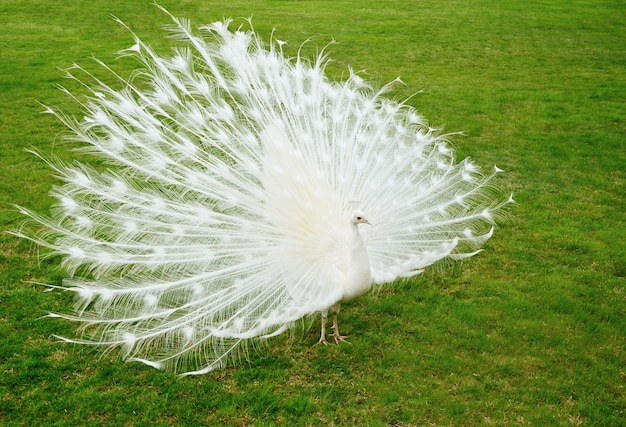 Witte pauw op groen gras