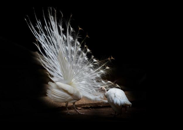 Witte pauw prachtig geopend toont staart in de pauw boerderij