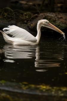 Witte pelikaan die een vis in water eet