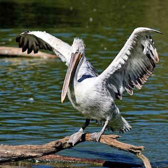 Witte pelikaan die in ochtendlicht opstijgen