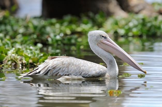 Witte pelikaan die in water nadenkt