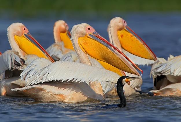 Witte pelikaan hoofden naast een aalscholver op een visreis