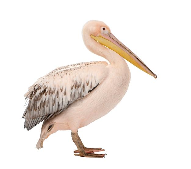 Witte pelikaan - pelecanus-onocrotalus op een geïsoleerd wit