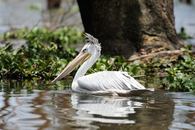 Witte pelikaan weerspiegelt in water