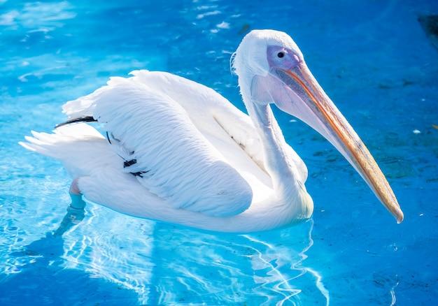 Witte pelikaanvogel met gele lange snavel zwemt in de waterpool, sluit omhoog