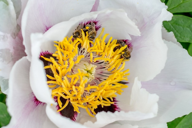 Witte pioenboom close-up. bijen op flower_