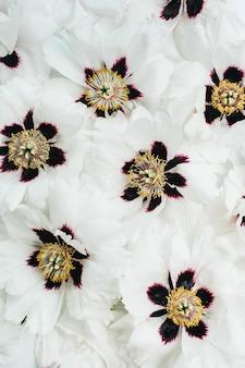 Witte pioenrozen bloemen textuur