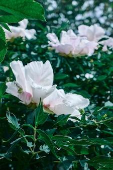 Witte pioenrozen. groene struik met witte lentebloemen. mooie natuurlijke achtergrond