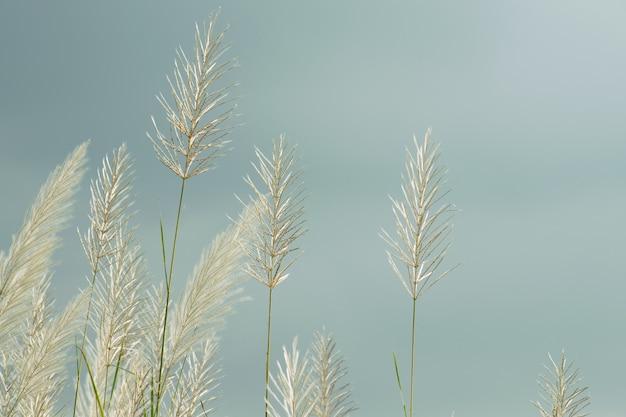 Witte pluizige bloemen van kansgras tegen een blauwe lucht