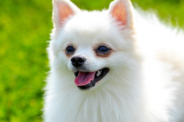 Witte pluizige hondenras spitz op een wazige achtergrond close-up, portret van een kleine schattige hond