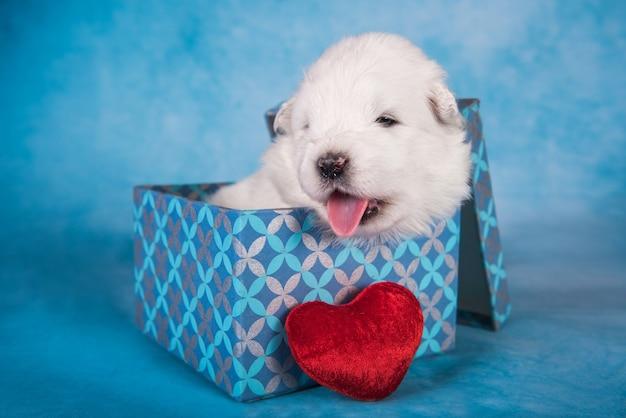 Witte pluizige kleine samojeed puppy hondje in een geschenkdoos met een rood hart op blauwe achtergrond