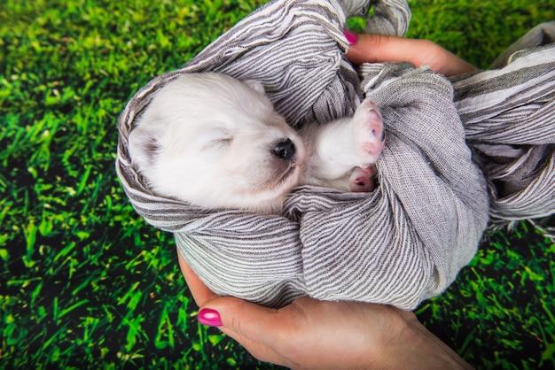 Witte pluizige kleine samojeed puppy hondje is in een sjaal in handen