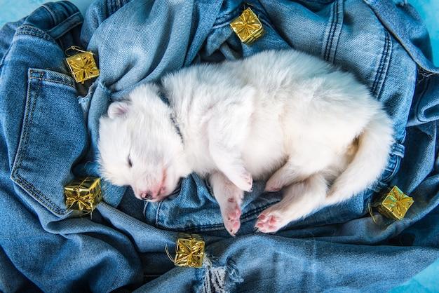 Witte pluizige kleine samojeed puppy hondje op spijkerbroek achtergrond