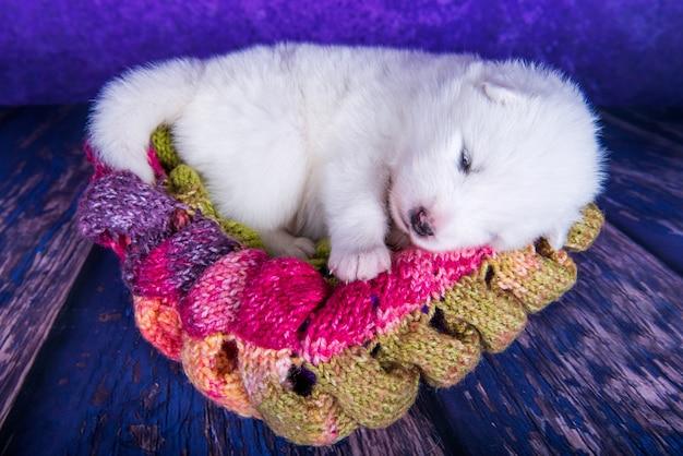 Witte pluizige kleine samojeed puppyhond in een kerstcadeaudoos