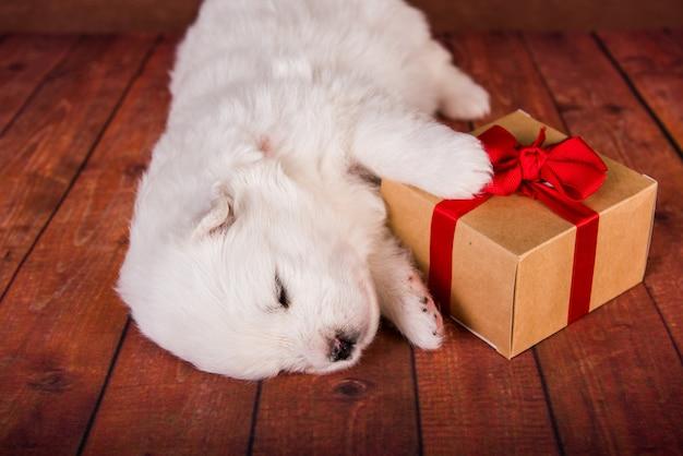Witte pluizige kleine samojeed puppyhond met een geschenk