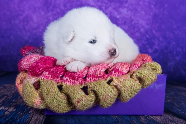 Witte pluizige kleine samojeed puppyhond slaapt op gebreide warme sjaal in een kerstcadeaudoos