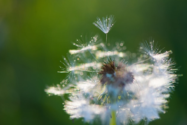 Witte pluizige paardebloemen, natuurlijke groene wazig lente achtergrond, selectieve aandacht.