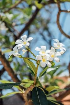 Witte plumeria-bloem dichte omhooggaand