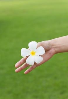 Witte plumeria-bloem en groen