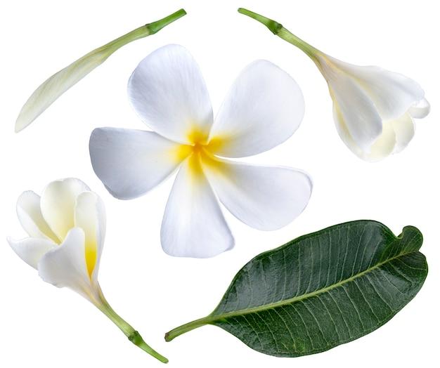 Witte plumeria bloemen geïsoleerd