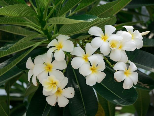 Witte plumeria-bloemen op boom en bladeren