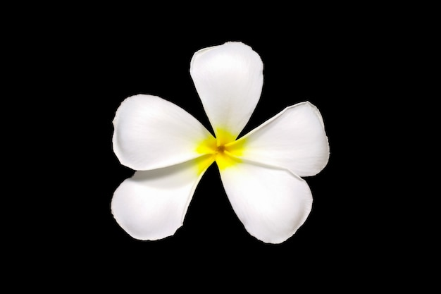 Witte plumeria frangipani bloemen geïsoleerd op zwarte leelawadee bloemen geïsoleerd op zwart