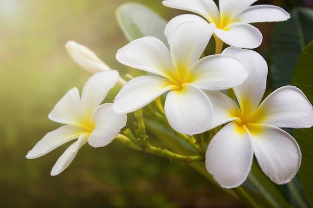 Witte plumeriabloemen met zacht licht, vintage filtereffect.