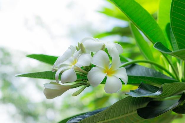 Witte plumeriabloemen