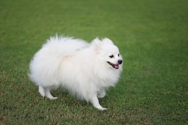 Witte pomeranian-hond op groen gazon.