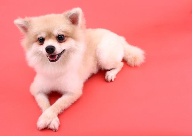 Witte pomeranianhond op rood