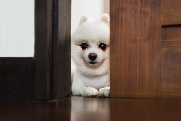 Witte pommeren hond die door de deur kijkt