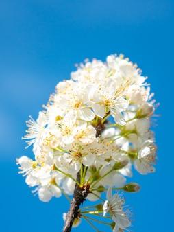 Witte pruimenbloemen op blauwe hemelachtergrond, lentetijd