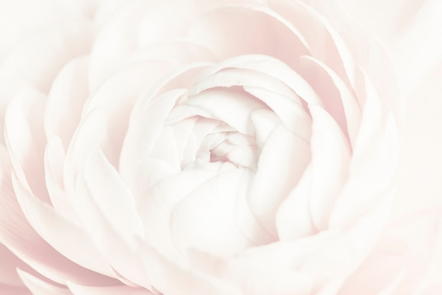 Witte ranonkel bloem achtergrond