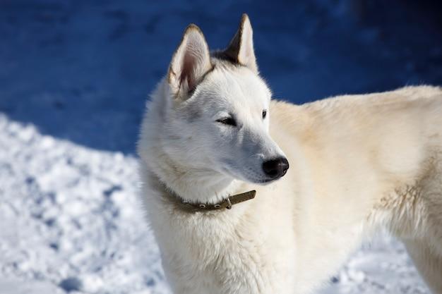 Witte rasloze hond in een kraag op straat in de winter. hoge kwaliteit foto