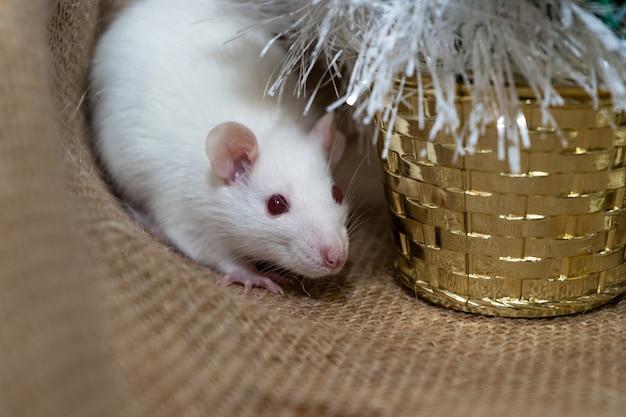 Witte rat met kerstdecoratie