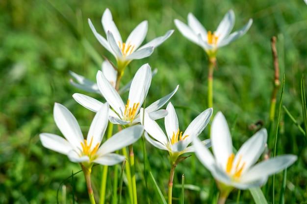 Witte regenleliebloem, zomerbloem zephyranthese candida in de tuin. flora.