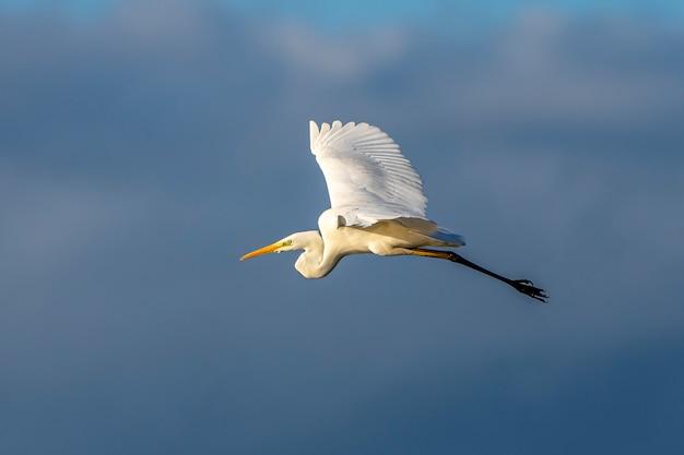Witte reiger die bij dageraad in het natuurpark van de moerassen van ampurdan vliegt.