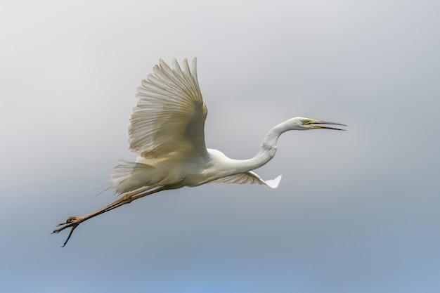 Witte reiger, grote zilverreiger, vliegen in de lucht. watervogel in de natuurhabitat. wildlife scène
