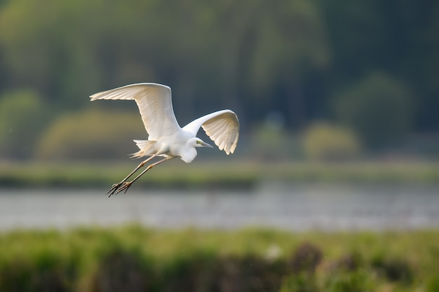 Witte reiger, grote zilverreiger, vliegen op het meer. watervogel in de natuurhabitat. wildlife scène