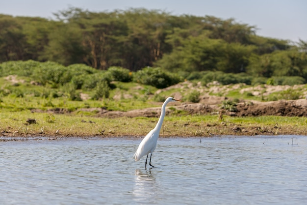 Witte reiger op het water