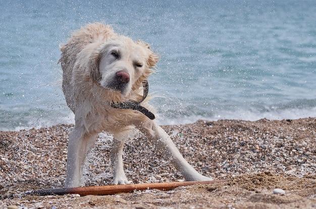 Witte retrieverhond op het strand