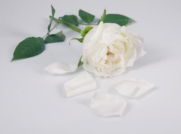 Witte roos geïsoleerd over grijs